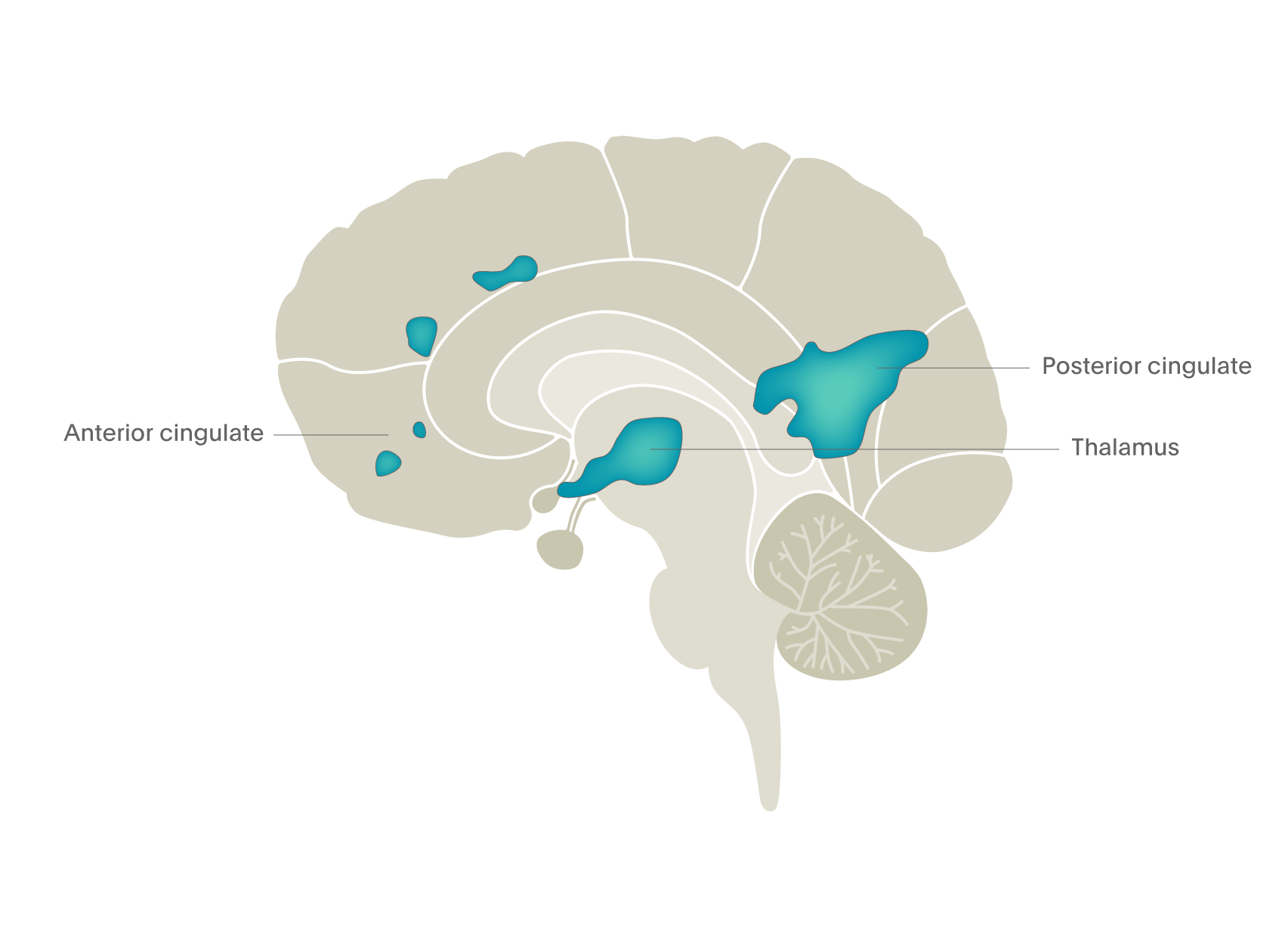 Psychedelic drugs turn off brain activity in the cingulate regions and thalamus – fMRI BOLD
